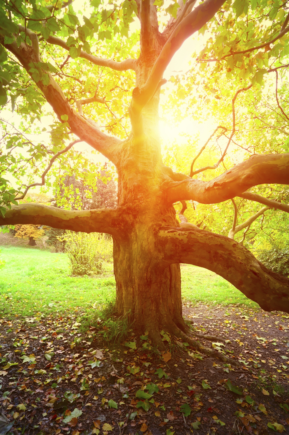how to tell how old a sycamore tree is