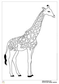 Zürafa Cicicee