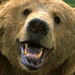 Ayı : Bear