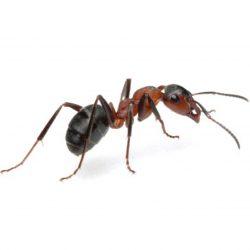 Ant : Karınca