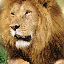 Aslan : Lion