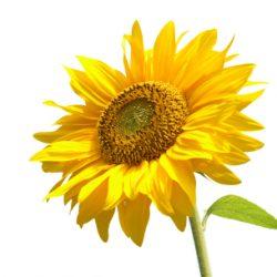 Ayçiçeği : Sunflower