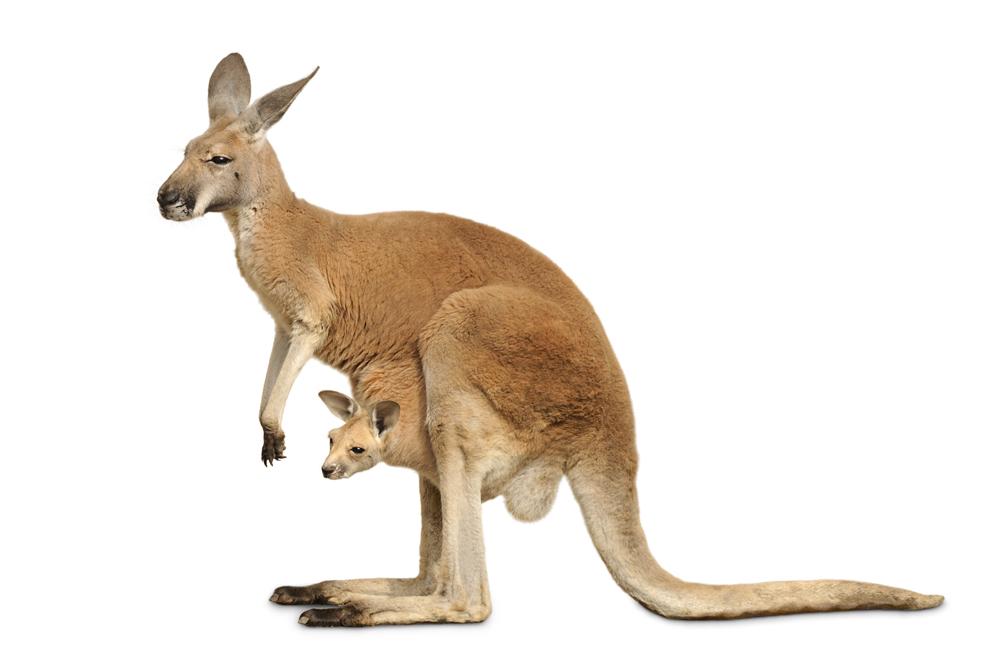 Yavru Kanguru Annesinin Karnındaki Keseye Nasıl Geçer Cicicee