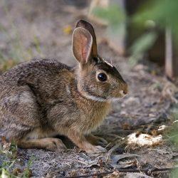 Rabbit : Tavşan