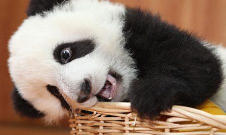 bebek-panda