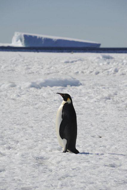 imparator-penguen (2)