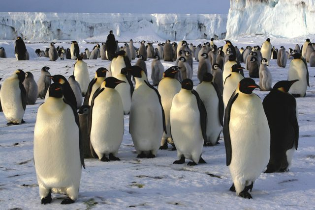 imparator-penguen