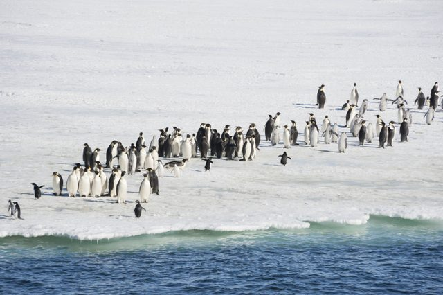 imparator-penguenler