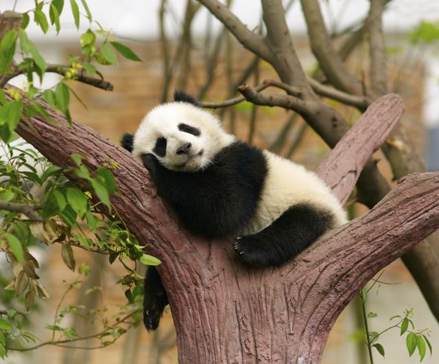 Panda 14