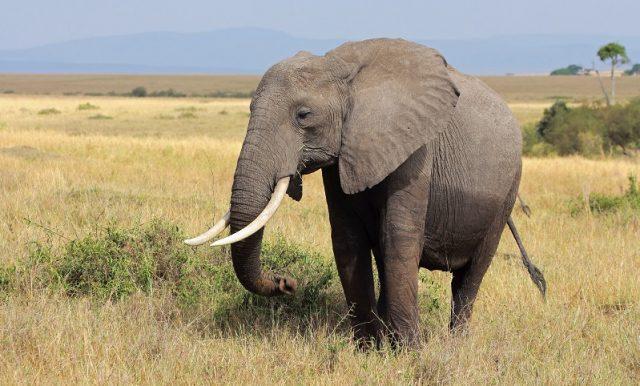Büyük kulaklı Afrika bozkır fili